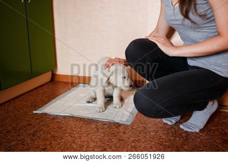 Puppy Of The Golden Retriever Walks To The Toilet On The Absorbent Diaper. Concept Training, Trainin