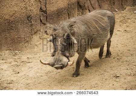 African Male Warthog Called Boars With Tusks And Large Facial Wattles Walking In Dry River Bed Of Ta