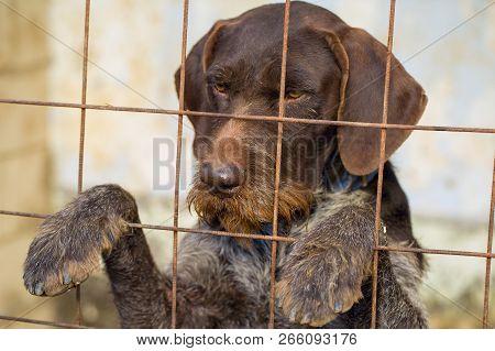 Sad Dog Behind The Bars, Hunting Dog With Sad Eyes, Animal Abuse Concept