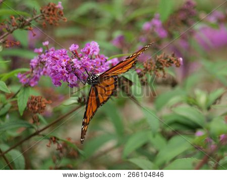 Migrating Monarch On A Butterfly Bush In A Garden To Attract Bees, Moths, Butterflies And Hummingbir