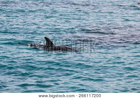 Dolphin Frolicking In The Blue Sea In Israel
