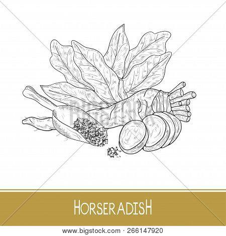 Horseradish. Sketch. Root, Leaves, Slice, Scoop. Monochrome.