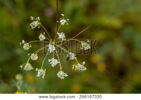 White Flowers. Blooming Flowers. Flowers On A Green Grass.  Meadow With Flowers. Wild Flowers. Natur