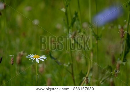 Daisy Flowers. Blooming Flowers. Daisy Flower On A Green Grass. Meadow With Flowers. Wild Flowers. N