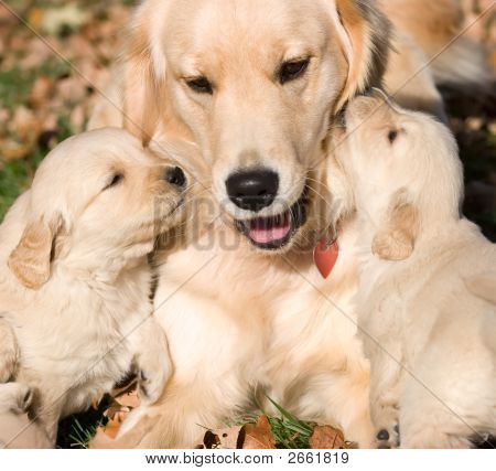 Golder Retriever Puppies With Mother