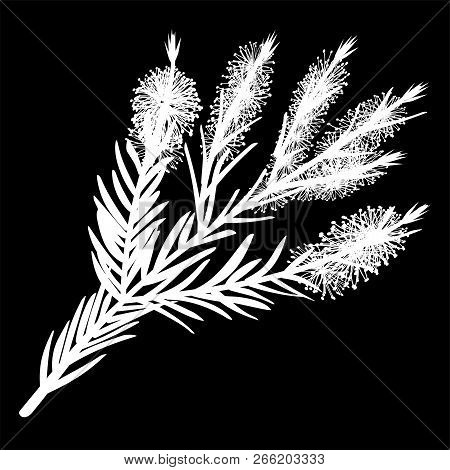 Melaleuca Twigs. Tea Tree Isolated Logo Icon. White Silhouette. Vector