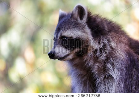 Portrait Of Sitting Adult Male Common Raccoon. Photography Of Nature And Wildlife.