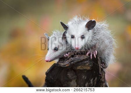 Pair Of Opossum Joeys (didelphimorphia) Look Out From Log End - Captive Animals