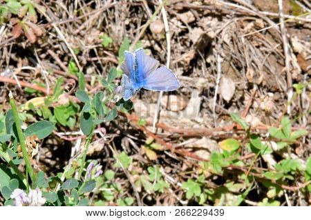 Osiris Blue Butter Fly In The Mountains Of Italy