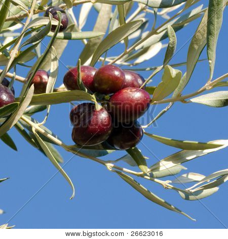 Leaves of olives and bunch of fruit that ripening on the branch of the tree