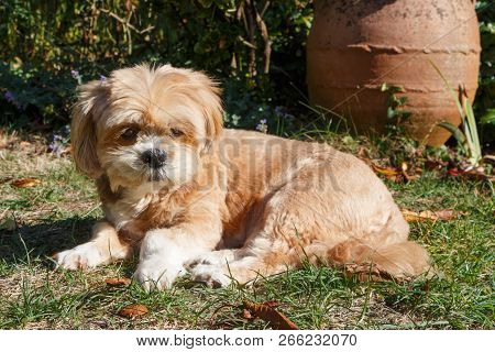 Lhasa Apso Dog Lying Between Dead Leaves In A Garden During Autumn