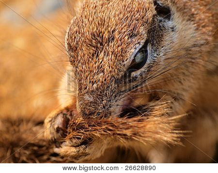 Ground squirrel(Xerus inaurus) eating