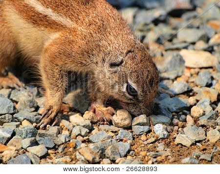 Ground squirrel(Xerus inaurus)