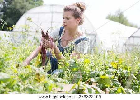 Female farmer harvesting and pulling out beets from an organic farm
