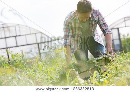 Attractive male farmer harvesting his vegetables and carrying them in a wooden box on his organic farm with greenhouse in background