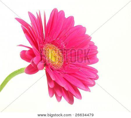 분홍색 거 베라 꽃 흰 배경에 고립