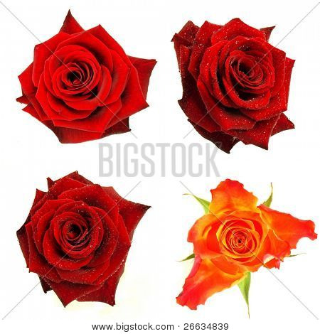 Rose blossoms isolated on white background