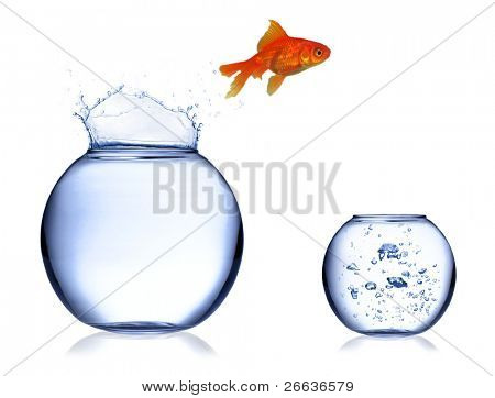 Gold fish jumping of aquarium into fresh one