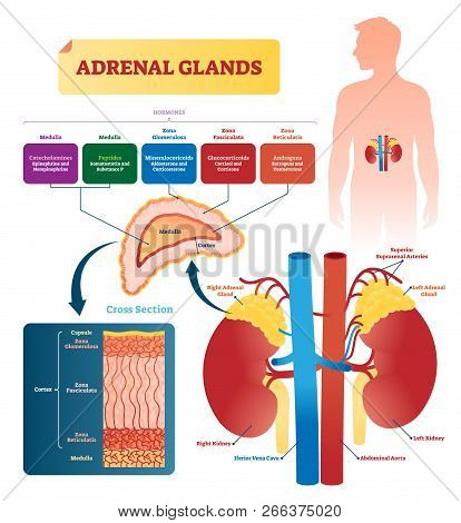 Adrenal Glands Vector Illustration. Labeled Scheme With All Hormones Types. Division In Medulla, Zon
