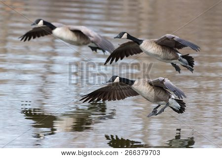 Three Canada Geese Gliding To A Lake Landing.