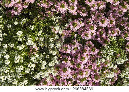 Petite Snow White Mauve Flowers Of Lobularia Maritima Alyssum Maritimum, Sweet Alyssum Or Sweet Alis