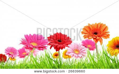 COlored gerber flowers on white background