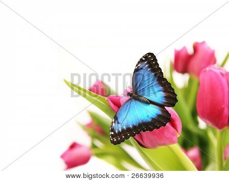 Blue butterfly on tulips blossoms poster