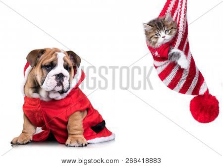 New Year's puppy English bulldog and Christmas kitten, dog and cat