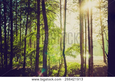 A Pine Forest Silhouette Against The Sun
