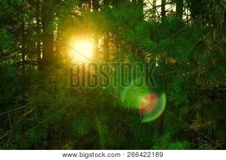 Bush Of Spruce Forest Against The Sun