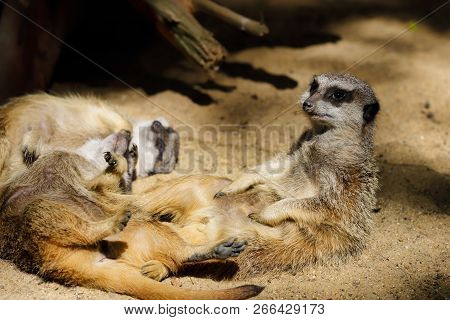 Relax Of Wild African Meerkat (suricata Suricatta) Family. Photography Of Nature And Wildlife.