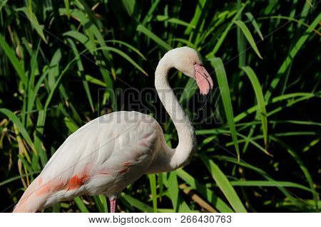 Portrait Of Rosy Colored Flamingo Waterbird Wading In The River. Photography Of Nature And Wildlife.