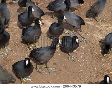 The Common Coot Which Is Also Know As A Mud Hen. Here, A Small Portion Of The Flock Gather To Work V