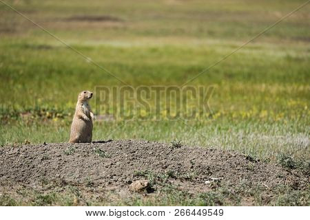 Watchful Black-tailed Prairie Dog From Grasslands National Park In Saskatchewan, Canada