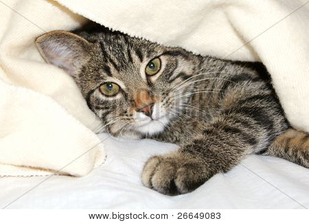 Cat under a blanket poster