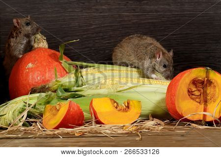 Two Rats  (rattus Norvegicus) Near Orange Pumpkin And Corn Inside  Of  Pantry.small Dof Focus Only T