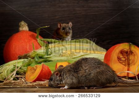 Close-up Rat  (rattus Norvegicus) Before Orange Pumpkin And Corn. Second Rat Peep Out From Behind Th