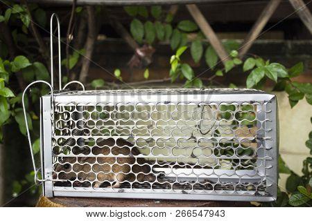Brown Rat Inside Rat Cage Trap