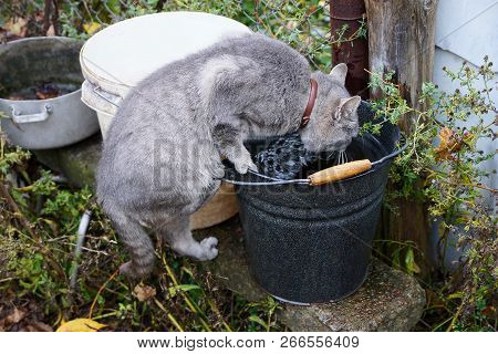 Gray Cat Drinking Water From A Black Metal Bucket On The Street