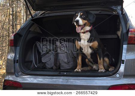 Entlebucher Mountain Dog Sitting In The Car.