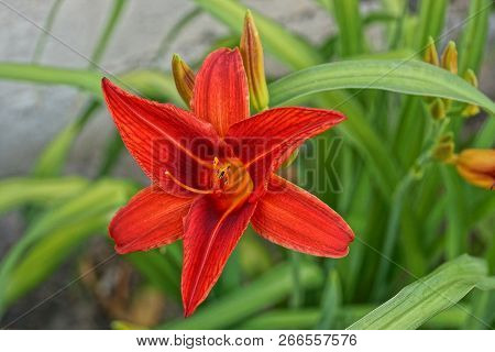 Big Bud Of A Red Flower In The Summer Garden