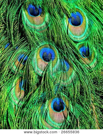 Peacock's tail