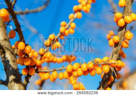 Branch With Sea Buckthorn Berries On The Background Of The Blue Sky.