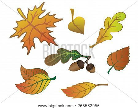 Autumn Leaves, Acorns, Oak Leaf. Set Of Autumn Leaves. Red, Yellow And Maroon Leaves.