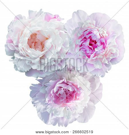 Blooming Pale Pink Peony Isolated On White Background-isolated