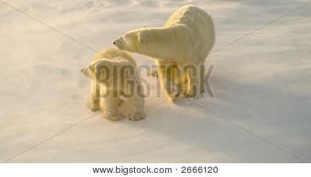 Polar Bear With Her Cub,Both Looking Back At Approaching Male Bear