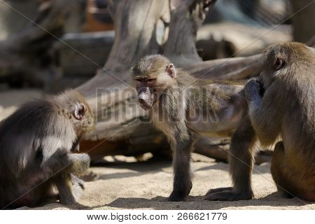 View Of Hamadryas Baboon Monkeys Family. Photography Of Nature And Wildlife.