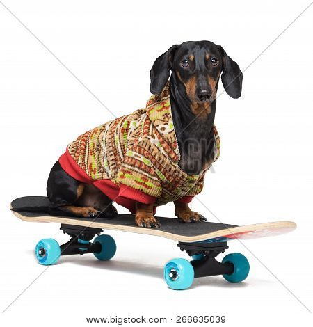 Dog Breed Dachshund, Black And Tan, Sits On Skateboard,dressed In A Color Sweater, Isolated On White