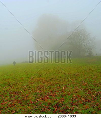 A Lonely Cow Is Disappearing In The Mist. The Green Meadow Is Slowly Diluted In The Gray Mist.