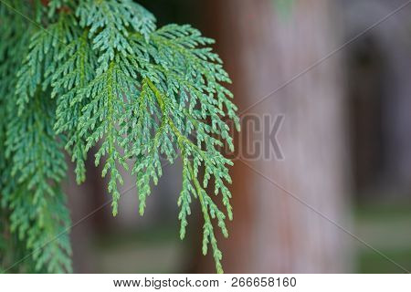 Thuja Twig, Thuja Occidentalis Is An Evergreen Coniferous Tree. Beautiful Green Christmas Leaves Of